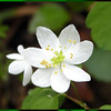 Rue Anemone was plentiful in College Woods. <br /> Thalictrum thalictroides<br /> Ranunculaceae 4/09