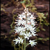 Close up of Foam Flower which was abundant along Beard Cane Trail.