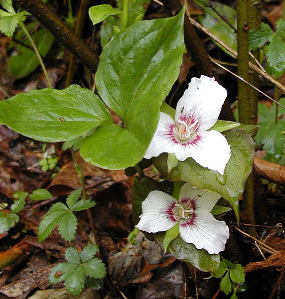 I had wanted to visit Alarka in Spring. I had never been over early in Spring. I saw Painted trilliums along Connelly's Creek Road at the higher elevations up top of the summit.  <br /> Trillium undulatum<br /> Liliaceae<br /> Nantahala National Forest, NC 5/8/09
