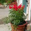Silver Fog Euphorbia, Scarlet sage, and Asparagus fern.