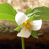 I had thought this was a different kind of trillium, but it is still Catesby's trillium.<br /> It has wider petals and they take a little longer to curve back. They do not get as wavy along the edges as the thinner petaled Catesby's.