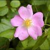 Prairie Rose growing along the roadside in Webb Hollow.<br /> Rosa setigera<br /> Rosaceae<br /> Blount Co, TN 6/16/09