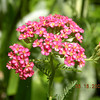 Paprika Yarrow at the Lily Barn<br /> Townsend, TN 6/22/09