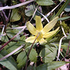 The back view of a trout lily which is also attractive! <br /> Porters Creek Trail GSMNP TN 4/09