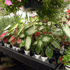 Caladiums and shade loving flowers in the greenhouse.<br /> Out of Eden Maryville TN