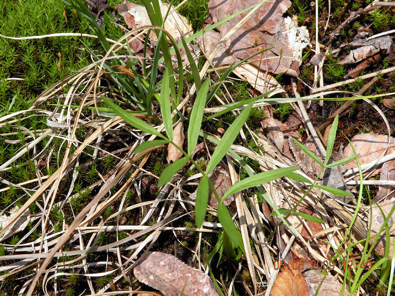 Some sort of simple fern perhaps?<br /> Not sure what this is. I found it surrounded by sphagnum and near a persistent wetland.<br /> Unidentified<br /> Alarka Laurel Red Spruce Bog<br /> Nantahala National Forest, NC 5/8/09