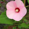"""K.T.'s new hibiscus cultivar.."""" Dunmoyer"""" which has fuzzy heart shaped leaves, a scalloped pink bell and maroon center.<br /> It is being tested at a local botanical garden for its bloom properties. He says if it performs well it will be available for sale next year!   This is one of KT's photos rather than mine.  <br /> Goldsboro, NC"""