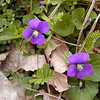 Common Blue Violets were certainly not scarce. I liked the photo of these two intermingled with the delicate fronds of some fabaceae species.  <br /> Viola sororia<br /> Violaceae<br /> Blount County, TN 4/09