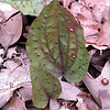 Cranefly Orchid Leaves.. the woods here were full of these. I am going back in August to check these out.<br /> I don't think I've ever run into this many anywhere.  The leaves and blooming portion are not seen together. <br /> The back of this leaf is purple. the front green with purple spots.  They can also be entirely purple!<br /> Look for them so you can come back in Summer for a short, easy , and rewarding wildflower hike!<br /> Maryville College Woods, TN 4/09<br /> You can also wait with a squirt gun up on top that Mountain Challenge thing to surprise innocent passersby or your hiking companion. Not that I'd ever do a thing like that.