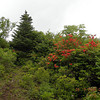 What do we have behind door number one?  First section on Hooper Bald.  I found deep red orange azaleas, pink mountain laurel and deep black green spruce trees.