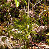 Round Branch Ground- Pine in the Red Spruce Bog area.<br /> This fern allie falls into the Lycopodium family. They look like minature trees!<br /> Lycopodium hickeyi<br /> Lyocopodiaceae<br /> Alarka Laurel<br /> Nantahala National Forest, NC 5/8/09