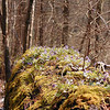 Nurse log covered with a large clump of Longspurred Violets<br /> Porters Creek Trail GSMNP TN 4/09