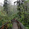 Boardwalk in the red spruce bog. The southernmost place to find a Canadian time ecosystem and forest! <br /> It certainly is beautiful.  Everything smelled great from the fresh rain.