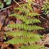 Mountain Wood Fern growing at Alarka Laurel <br /> Dryopteris campyloptera<br /> Dryopteridaceae<br /> Nantahala NF, NC 5/09