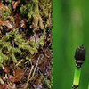 Composite Photo of Fern allies.<br /> L-R Whisk Ferns, Club Mosses, Horsetails, Quillworts
