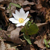 Bloodroot Blooming along the path in White Oak Sinks heading toward the falls.<br /> This species is another early Spring bloomer.<br /> Sanguinaria canadensis<br /> Papaveraceae<br /> GSMNP TN 3/09