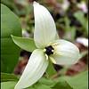 White Wake Robin parent of hybrid<br /> Trillium erectum<br /> Liliaceae<br /> GSMNP NC 5/8/09