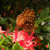 Drinking nectar<br /> Gregory Bald Azaleas <br /> GSMNP TN 6/20/09