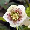 Speckled Hellebore or Lenten Rose<br /> Helleborus orientalis<br /> Ranunculaceae<br /> University of Tennessee Gardens, Knoxville, TN 3/09