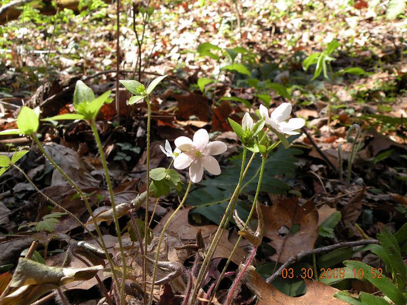 Sharp lobed Hepatica growing along the banks of Rush Branch.<br /> Hepatica acutiloba<br /> Ranunculaceae<br /> GSMNP TN 3/09