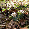 Sharp lobed Hepatica growing along the banks of Rush Branch.<br /> Hepatica acutiloba<br /> Ranunculaceae<br /> GSMNP TN 3/09