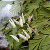 Dutchmans Britches by the trail with a little snow on them.<br /> Porters Creek Trail is a good place to see these.<br /> Dicentra cucullaria<br /> Fumariaceae<br /> GSMNP TN 4/09
