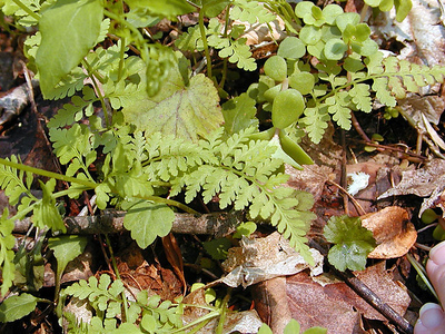 Lowland Brittle Fern along Porters Creek Trail<br /> Cystopteris protrusa<br /> Dryopteridaceae<br /> GSMNP TN 4/09
