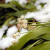 With All the Appeal of a Wet Dishrag........past peak bloom and damp with snow, Frasers Sedge is not looking too good.<br /> If you catch this little flower newly emerging it is quite pretty! It can be seen along Porters Creek Trail. <br /> Cymophyllus fraserianus <br /> Cyperaceae  	<br /> GSMNP TN 4/09