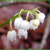 Close up of American Lily of the Valley bloom<br /> Still raining. I'm carrying an umbrella. <br /> Convallaria majuscula<br /> LIliaceae<br /> Nantahala National Forest, NC