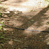 This gray rat snake  was probably 5 feet long and very healthy. I hadn't seen one  in several years so I was tickled to see him once I regained my composure.