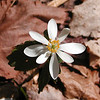 Perfect and newly bloomed Bloodroot in White Oak Sinks<br /> Sanguinaria canadensis<br /> Papaveraceae<br /> GSMNP TN 3/09