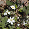 The largest, healthiest cluster of Bloodroot I saw all day was growing up out of the valley floor in White Oak Sinks.<br /> Sanguinaria canadensis<br /> Papaveraceae<br /> GSMNP TN 3/09