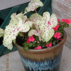 Gingerland Caladium is a new sun tolerant cultivar I purchased at the Horn of Plenty Market and planted with impatiens on my back patio. It is in partial sun. Recommended by Best Garden  Plants for Tennessee.