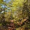 At Little Brier Gap looking up Little Greenbrier Trail<br /> Mountain laurel dotted the sides of this path.