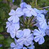 This beautiful blue bloom of Plumbago is a Best Garden Plants for Tennessee choice. I can sure see why!<br /> It is lovely.  Popes of Rockford sells it.