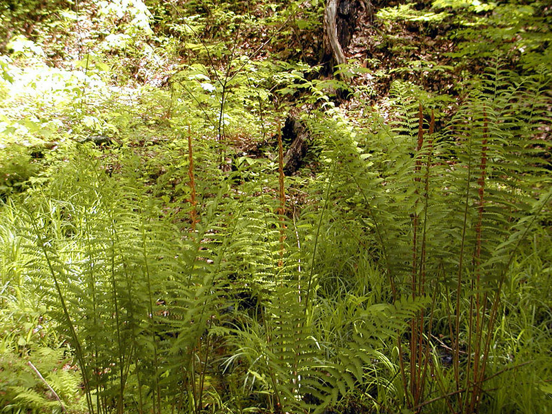 Row after row of my favorite ferns.. Cinnamon Ferns!<br /> They were 3 feet tall.<br /> Osmunda cinnamomea<br /> Osmundaceae<br /> Blount Co. TN 5/10/09