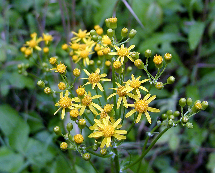 Yellow ragwort in the wildflower meadow was plentiful in many areas today!<br /> Senecio glabellus<br /> Asteracea<br /> Blount Co. TN 5/10/09