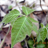 Learn what this itchy nuisance plant looks like.<br /> Poison Ivy