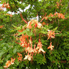 I called this native azalea Difficult Peach Dangle because the wind was blowing and making it DIFFICULT for me to get a decent photo!