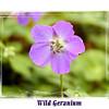 Close up of Geranium maculatum