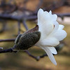 Opening blossom of Star Magnolia<br /> Magnolia stellata<br /> Magnoliaceae<br /> UT Gardens, Knoxville, TN 3/09