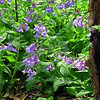 Virginia Bluebells<br /> Mertensia virginica<br /> Boraginaceae<br /> Blount County, TN 4/09