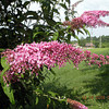Buddleia davidii  or Butterfly bush in my yard........ I paid $7 for it and it is huge.<br /> I could not dig it up or cut it down.  It is a Best Garden Plants for Tennessee recommendation. It attracts butterflies and bees and hawkmoths. It smells wonderful and is easy care.