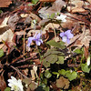 Longspurred Violets and Rue anemone growing on the banks of Rush Branch<br /> GSMNP TN 3/30/09