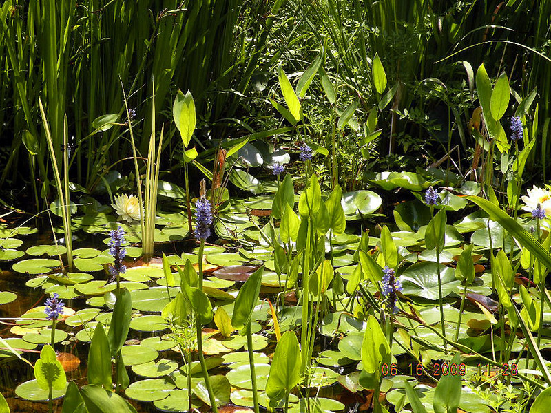 Purple spiked Pickerel Weed and pale yellow Water Lilies in the bullfrog pond at The Lily Barn<br /> 6/22/09