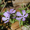 Blue Phlox -- the first of the season to emerge in White Oak Sinks. The fragrance of just these few blooms was wonderful!<br /> Phlox divaricata<br /> Polemoniaceae<br /> GSMNP TN 3/09