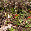 A beautiful mixture of pale and bold flower colors.<br /> Pale yellow Mountain bellwort and bold red-orange Indian paintbrushes!<br /> Along the logging road<br /> Alarka Laurel <br /> Nantahala National Forest, NC 5/8/09