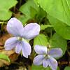 Dog Violets at Pretty Pulloff<br /> Viola conspersa <br /> Violaceae<br /> GSMNP NC 5/8/09