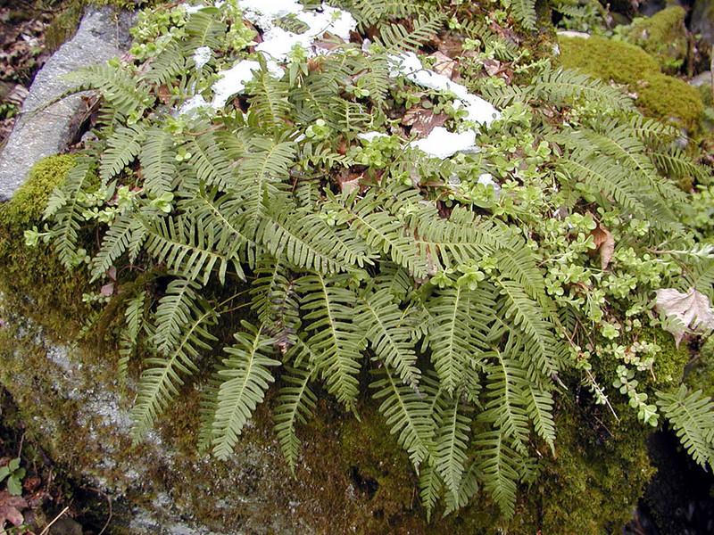 Appalachian Rock Polypody cluster in the rocks below Fern Branch Falls<br /> This is a really good trail for a fern walk.<br /> GSMNP TN 4/09