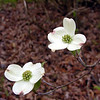 Dogwood blossoms along Howee Drive.<br /> Maryville College Woods, TN 4/09